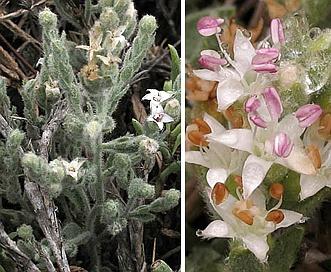 Cressa truxillensis