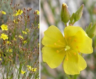 Crocanthemum scoparium