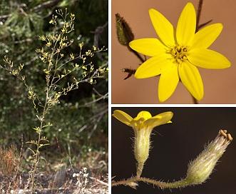 Croptilon divaricatum