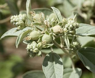 Croton pottsii