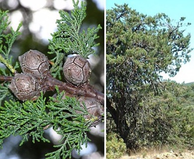 Cupressus macnabiana