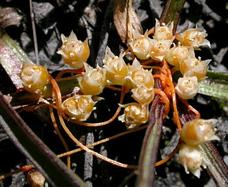 Cuscuta occidentalis
