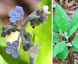 Cynoglossum virginianum