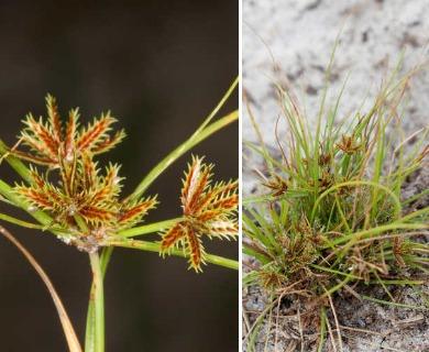 Cyperus cuspidatus