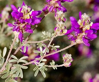Dalea bicolor