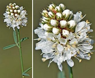 Dalea multiflora
