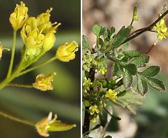 Descurainia californica