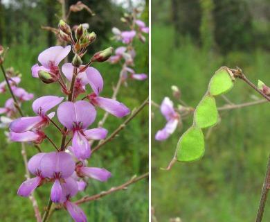 Desmodium floridanum