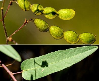 Desmodium psilophyllum