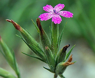 Dianthus armeria