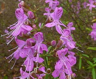 Dicerandra linearifolia