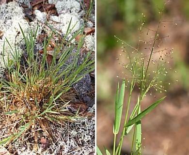 Dichanthelium ensifolium