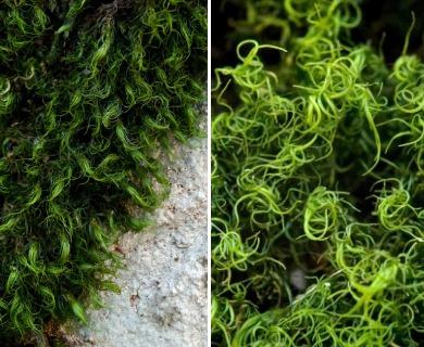 Dicranum fulvum