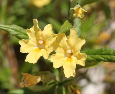Diplacus calycinus