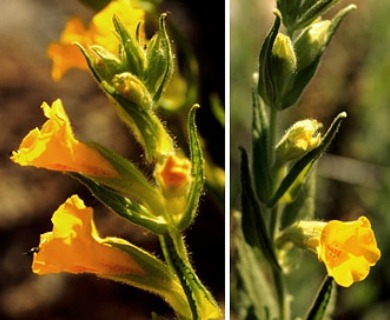 Diplacus clevelandii