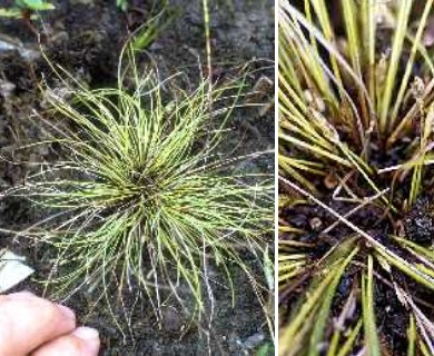 Eleocharis intermedia