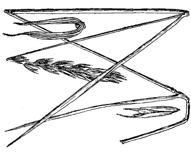 Elymus curvatus