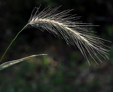 Elymus riparius