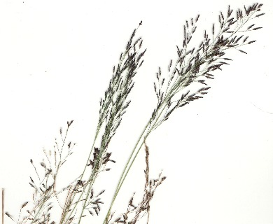 Eragrostis pilosa