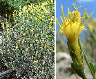 Ericameria discoidea