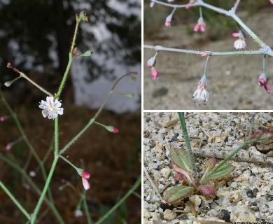 Eriogonum apiculatum