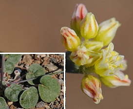 Eriogonum collinum