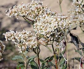 Eriogonum corymbosum