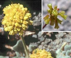 Eriogonum incanum
