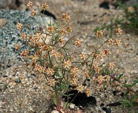 Eriogonum maculatum