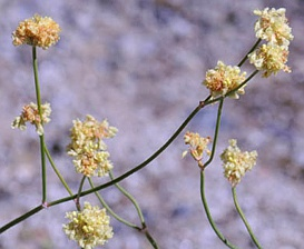 Eriogonum nudum