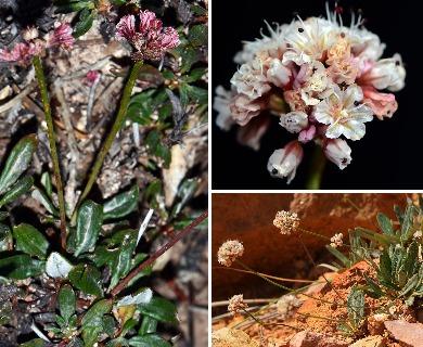 Eriogonum panguicense