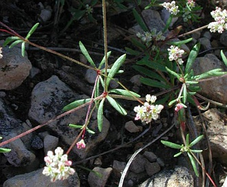 Eriogonum pharnaceoides