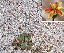 Eriogonum pusillum