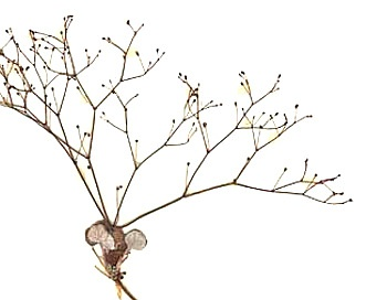 Eriogonum wetherillii
