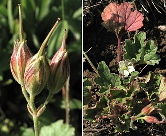 Erodium macrophyllum