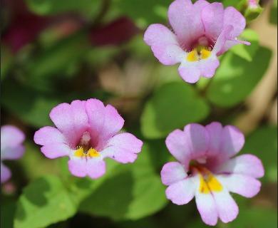 Erythranthe grayi