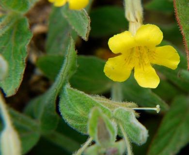 Erythranthe inodora