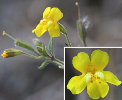Erythranthe washingtonensis