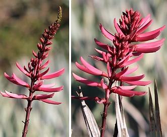 Erythrina herbacea