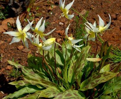 Erythronium multiscapideum