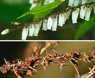 Eubotrys racemosa