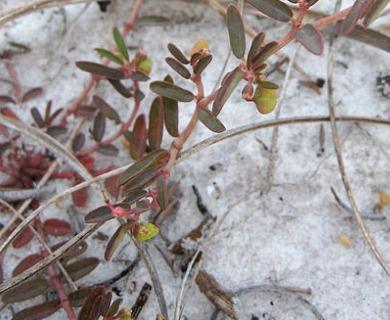 Euphorbia bombensis