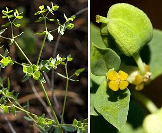 Euphorbia chamaesula