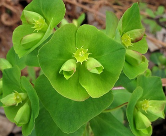 Euphorbia commutata
