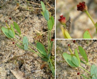 Euphorbia exserta