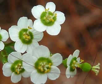 Euphorbia pubentissima