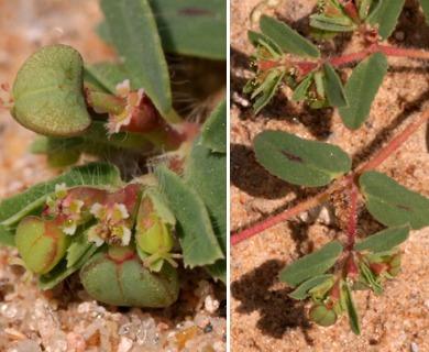Euphorbia serrula