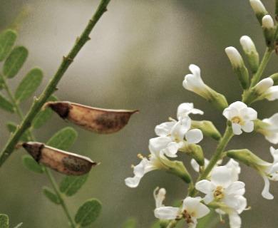 Eysenhardtia texana