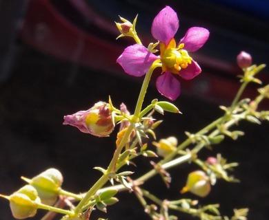 Fagonia californica