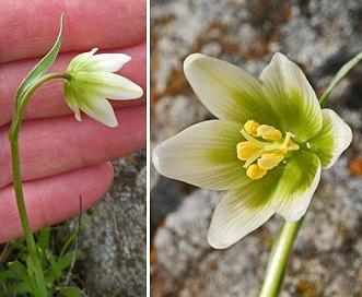 Fritillaria liliacea
